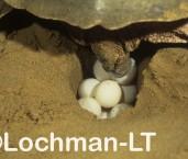 Flatback Turtle Natador depressus LMY-031©Jiri Lochman - Lochman LT