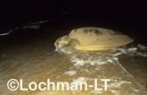 Flatback Turtle Natador depressus LMY-062 ©Jiri Lochman- Lochman LT.