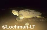 Flatback Turtle Natador depressus LMY-063 ©Jiri Lochman - Lochman LT