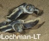 Flatback Turtle Natador depressus LMY-083 ©Jiri Lochman - Lochman LT