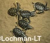 Flatback Turtle Natador depressus LMY-145 ©Jiri Lochman- Lochman LT.