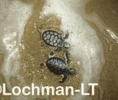 Flatback Turtle Natador depressus LMY-193 ©Jiri Lochman- Lochman LT.