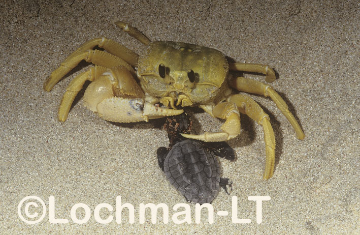 Golden Ghost Crab – consuming Loggerhead Turtle hatchling