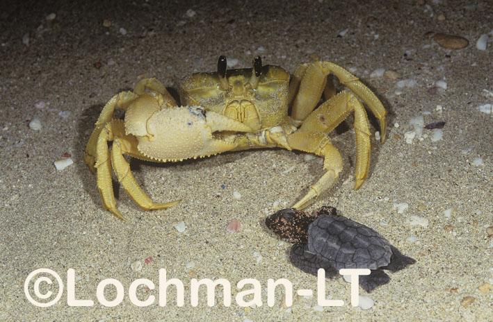 Golden Ghost Crab – predating Loggerhead Turtle hatchling