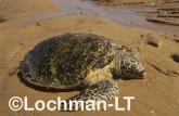 Hawksbill Turtle Eretmochelys imbricata LMY-249 ©Jiri Lochman - Lochman LT