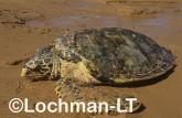 Hawksbill Turtle Eretmochelys imbricata LMY-255 ©Jiri Lochman - Lochman LT