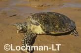 Hawksbill Turtle Eretmochelys imbricata LMY-259 ©Jiri Lochman - Lochman LT
