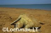 Hawksbill Turtle Eretmochelys imbricata LMY-266 ©Jiri Lochman - Lochman LT