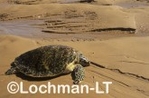 Hawksbill Turtle LJY-770 ©Jiri Lochman- Lochman LT