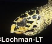 Hawksbill Turtle LMY-234 ©Jiri Lochman- Lochman LT