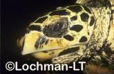 Hawksbill Turtle LMY-239 ©Jiri Lochman- Lochman LT