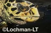Hawksbill Turtle LMY-241 ©Jiri Lochman- Lochman LT