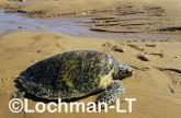 Hawksbill Turtle LMY-244 ©Jiri Lochman- Lochman LT