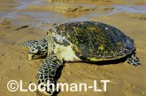 Hawksbill Turtle LMY-262 ©Jiri Lochman- Lochman LT