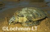 Hawksbill Turtle LMY-263 ©Jiri Lochman- Lochman LT