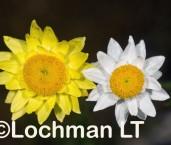Hyalosperma cotula Mayweed Sunday LLJ-533 ©Jiri Lochman- Lochman LT.