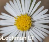 Minuria leptophylla Minnie Daisy LLN-176 ©Jiri Lochman- Lochman LT.