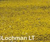 Myriocephalus guerinae Common Myriocephalus YSY-985 ©Jiri Lochman- Lochman LT
