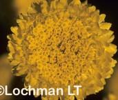Myriocephalus guerinae Yellow Buttons KB-414 ©Jiri Lochman LT