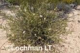 Olearia adenolasia AED-926 ©Marie Lochman- Lochman LT.