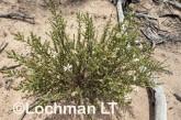 Olearia adenolasia AED-927 ©Marie Lochman- Lochman LT.
