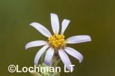 Olearia adenolasia AED-928 ©Marie Lochman- Lochman LT.