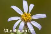 Olearia adenolasia AED-929 ©Marie Lochman- Lochman LT.