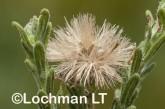 Olearia adenolasia AED-933 ©Marie Lochman- Lochman LT.