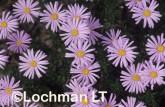 Olearia ciliata Daisy Bush XC-819 © Jiri Lochman LT