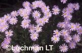 Olearia ciliata Daisy Bush XCY-822 ©Jiri Lochman - Lochman LT