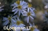 Olearia homolepis White Daisy Bush AWY-164 ©Marie Lochman- Lochman LT