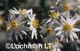 Olearia homolepis White Daisy Bush AWY-165 ©Marie Lochman- Lochman LT