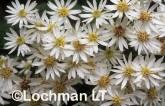 Olearia megalophylla Bush Daisy LAY-398 ©Jiri Lochman - Lochman LT