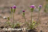 Bellida graminea Rosy Bellida AGD-230 ©Marie Lochman LT