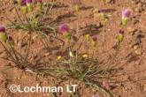 Bellida graminea Rosy Bellida LLR-341 ©Jiri Lochman LT