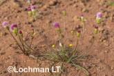 Bellida graminea Rosy Bellida LLR-342 ©Jiri Lochman LT