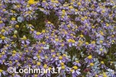 Brachyscome iberidifolia Swan River Daisy AGD-265 ©Marie Lochman LT