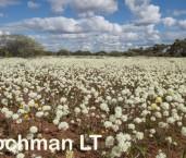 Cephalipterum drummondii Pom Pom Everlasting AGD-285 ©Marie Lochman LT