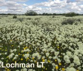 Cephalipterum drummondii Pom Pom Everlasting LLR-374 ©Jiri Lochman LT