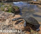Chelodina steindachneri - Plate-shelled Turtle AGD-204 ©Marie Lochman LT