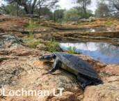 Chelodina steindachneri - Plate-shelled Turtle LLR-331 ©Jiri Lochman LT