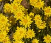 Hyalosperma glutinosum - Charming Sunray LLR-389 ©Jiri Lochman LT