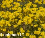 Hyalosperma glutinosum - Charming Sunray LLR-391 ©Jiri Lochman LT