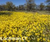 Hyalosperma glutinosum - Charming Sunray LLR-397 ©Jiri Lochman LT