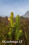 Andersonia axilliflora Giant Andersonia AFE-580  ©Marie Lochman LT