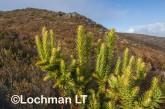 Andersonia axilliflora Giant Andersonia LLP-576  ©Jiri Lochman LT