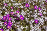 Biodiversity of annuals AGD-251 ©Marie Lochman LT