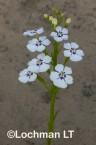 Isotoma hypocrateriformis LLP-594 ©Jiri Lochman LT