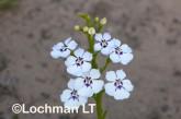 Isotoma hypocrateriformis LLP-595 ©Jiri Lochman LT