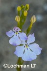 Isotoma hypocrateriformis  Woodbridge Poison  LLJ-960 © Marie Lochman LT